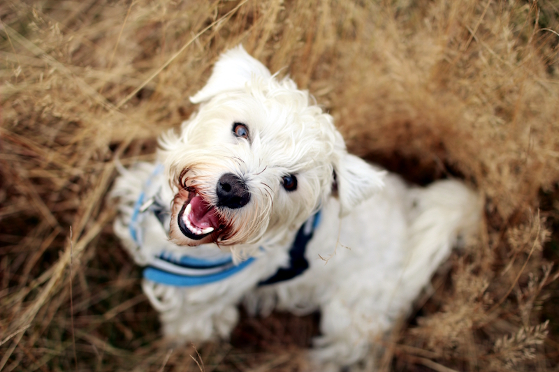 Louis-the-dog-gold-coast-white-western-terrier-cross-in-long-grass-being-cute