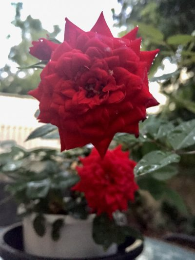 blog-image-small-red-garden-rose