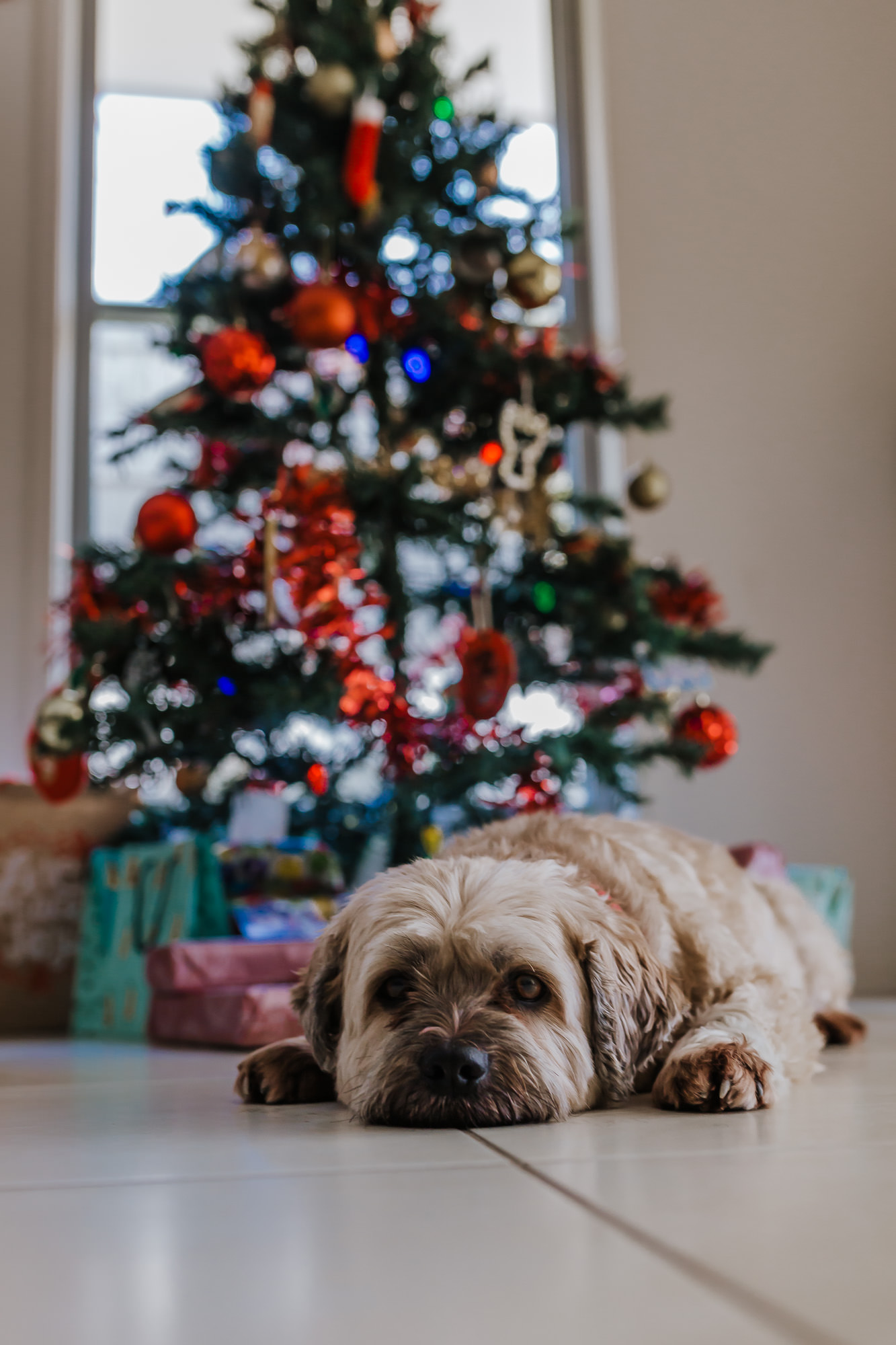 the pet dog takes a nap in front of the Christmas tree after the family have finished decorating